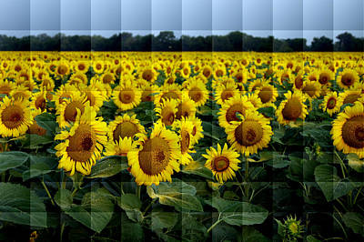Poster featuring the photograph Sunflower Squared by Kathy Churchman