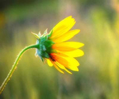 Sunflower Sunrise 6 Poster