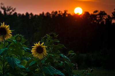 Poster featuring the photograph Sunflower Sunset by Cheryl Baxter