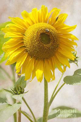 Sunflower Poster by Svetlana Sewell