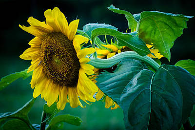 Poster featuring the photograph Sunflower by Wayne Meyer
