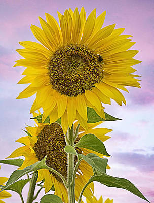 Sunflower With Colorful Evening Sky Poster