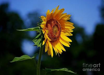 Sunflower With Honeybee Poster by Catherine Sherman