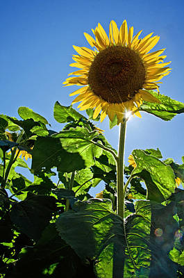 Sunflower With Sun Poster