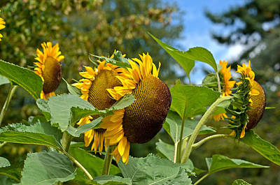 Poster featuring the photograph Sunflowers by Allen Biedrzycki