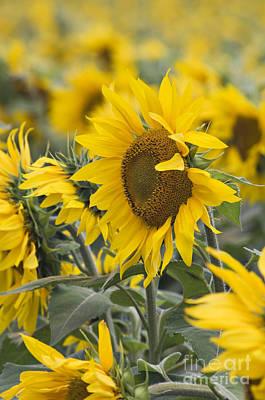 Sunflowers - D008561 Poster by Daniel Dempster