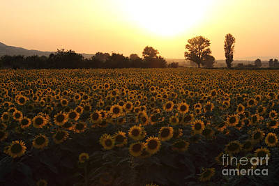 Sunflowers Field On Sunset Poster by Kiril Stanchev