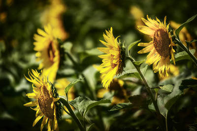 Poster featuring the photograph Sunflowers In The Wind by Steven Sparks