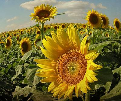 Kansas Sunflowers Poster by Chris Berry