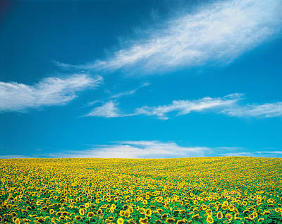 Sunflowers In Field Poster by Panoramic Images