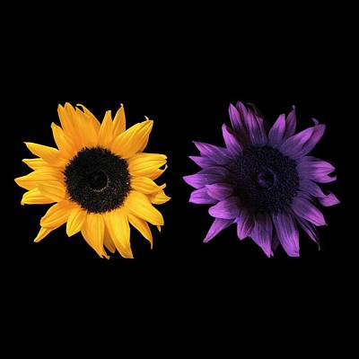 Sunflowers In Uv And Daylight Poster by Science Photo Library
