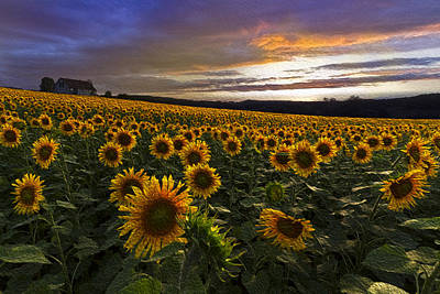 Sunflowers Oil Painting Poster by Debra and Dave Vanderlaan