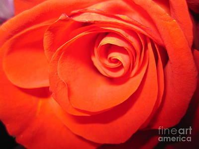 Sunkissed Orange Rose 9 Poster