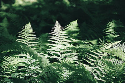 Poster featuring the photograph Sunlight And Shadows-algonquin Ferns by David Porteus