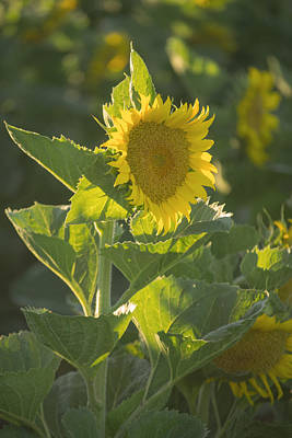 Sunlight And Sunflower 3 Poster