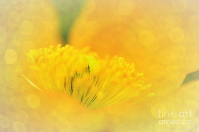 Sunlight On Poppy Abstract Poster by Kaye Menner