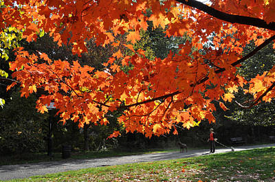 Sunlight On Red Maple Leaves Poster by Diane Lent
