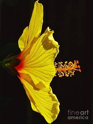 Sunlit Hibiscus Poster