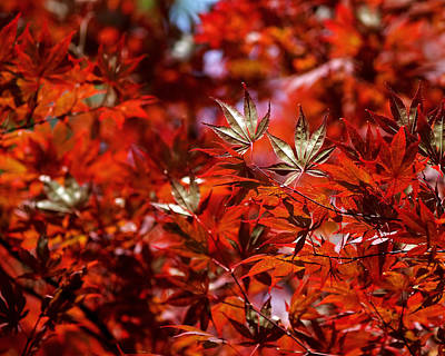 Sunlit Japanese Maple Poster by Rona Black