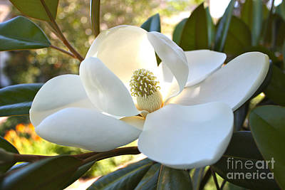 Sunlit Southern Magnolia Poster