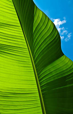 Sunny Banana Leaf Poster