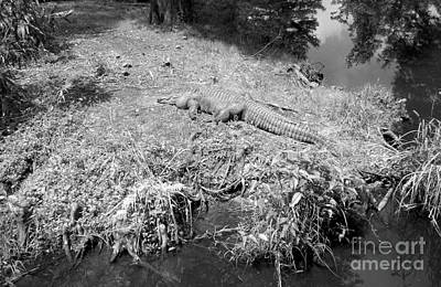 Poster featuring the photograph Sunny Gator Black And White by Joseph Baril