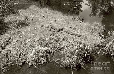 Poster featuring the photograph Sunny Gator Sepia  by Joseph Baril