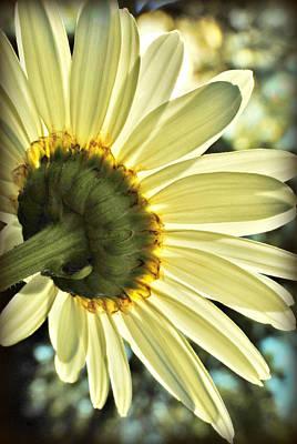 Sunny Shasta Daisy Poster by Kelly Nowak