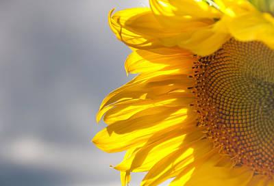 Sunny Sunflower Poster by Cheryl Baxter