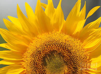 Sunny Sunflower Poster by Olivia Hardwicke