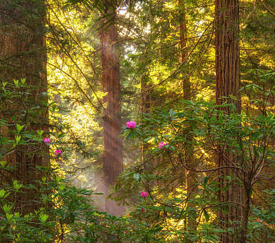 Sunrays Over Redwoods Poster
