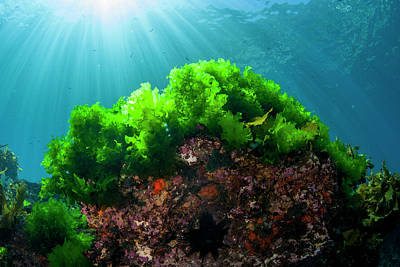 Sunrays Shine On Kelp Through Clear Poster by James White