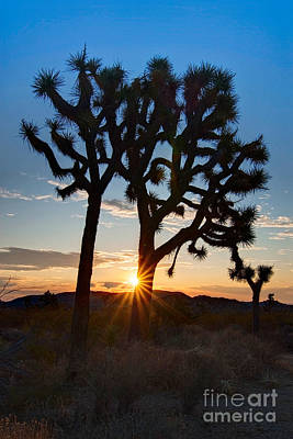 Sunrise Burst - Joshua Trees Beautifully Lit Joshua Tree National Park. Poster