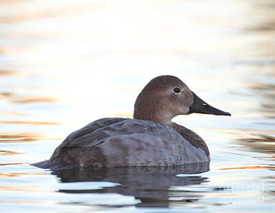 Sunrise Canvasback Poster