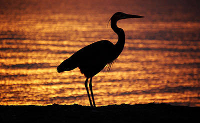 Poster featuring the photograph Sunrise Heron by Leticia Latocki