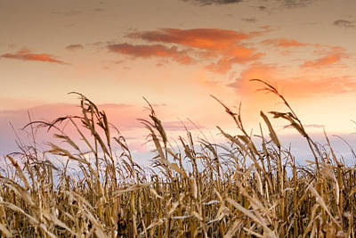 Sunset Against The Cornstalks Poster