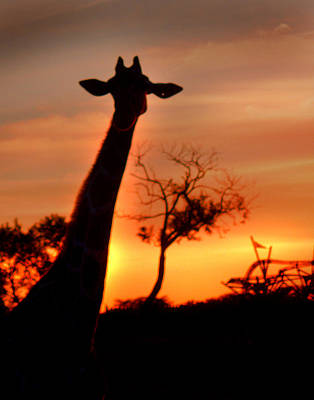 Sunset Giraffe Poster by Joseph G Holland