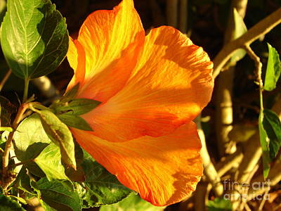 Sunset Hibiscus Poster by Lew Davis