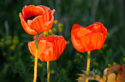 Poster featuring the photograph Sunset Poppies by Debbie Oppermann