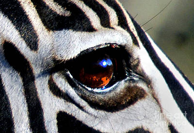 Sunset Reflected In Zebra's Eye    Poster
