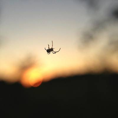 Poster featuring the photograph Sunset Spidey by Nikki McInnes