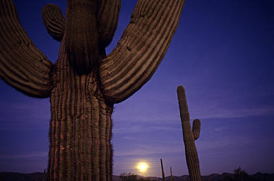 Sunset With Moonise Behind Saguaro Cactus In Desert Southwest Ar Poster