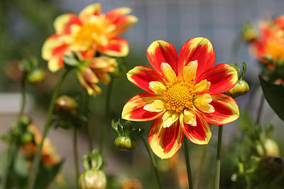 Sunshine Flower Poster