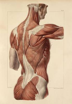 Superficial Back Muscles, 1831 Artwork Poster by Science Photo Library