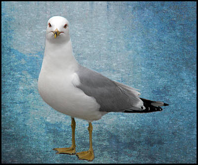 Poster featuring the photograph Superior Seagull by Terri Harper