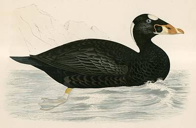 Sure Scoter Poster by Beverley R. Morris