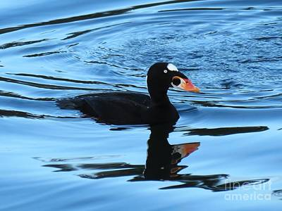 Surf Scoter Blues Poster by Gayle Swigart