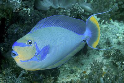 Surgeonfish, Raja Ampat Islands, Irian Poster