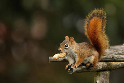 Surprised Red Squirrel With Nut Portrait Poster