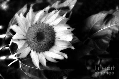 Surreal Haunting Black And White Sunflower Poster by Kathy Fornal